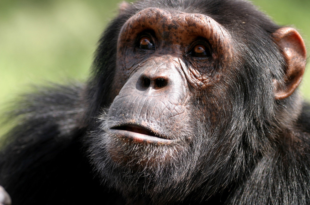 chimp-Craig_R_Sholley-IMG_0345