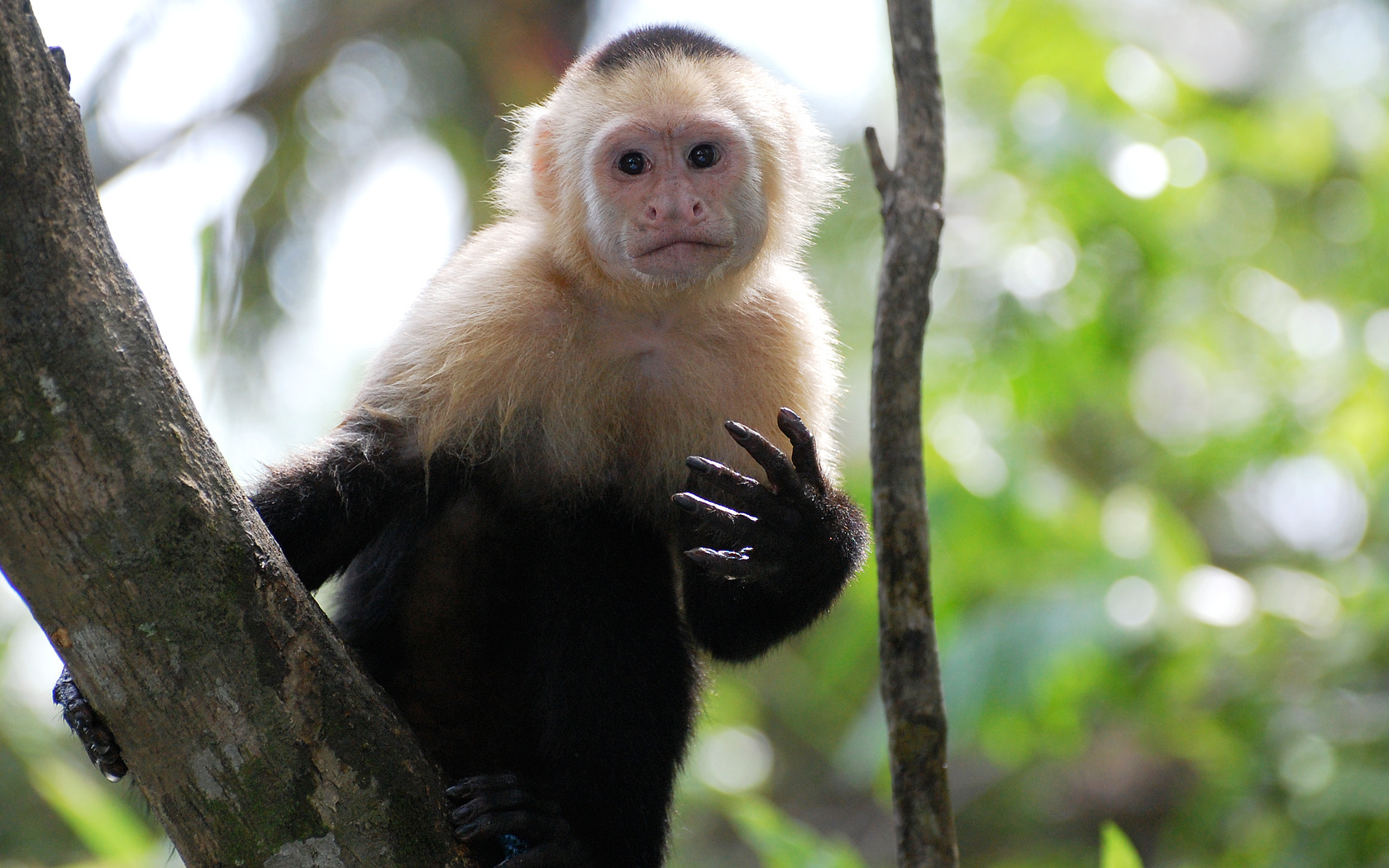 white_faced_capuchin_2_wp