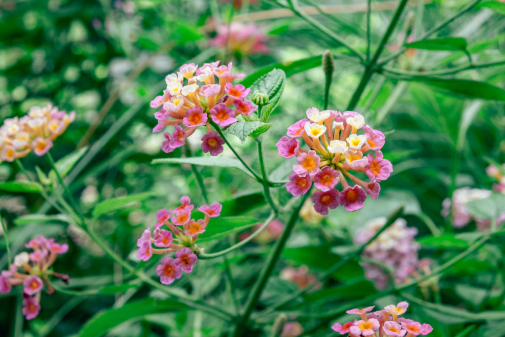 SEA State 9: Lantana camara Chicken Dung Flower 2